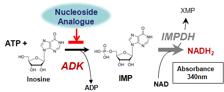 ADK phosphorylation principle